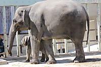 Asian_elephant15