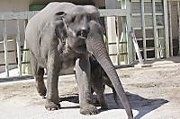 Asian_elephant16