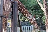 Giraffe32