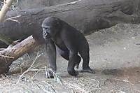 Gorilla07