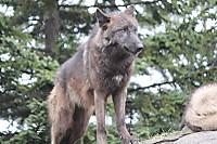 Wolf20