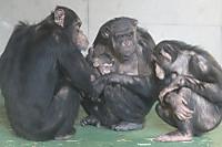 Chimpanzee22