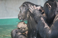 Chimpanzee23
