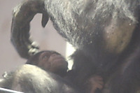 Chimpanzee24