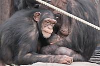 Chimpanzee25