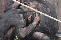 Chimpanzee27