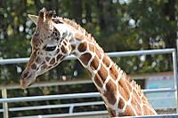 Giraffe_k01