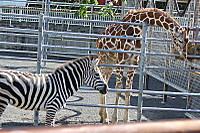 Giraffe_zebra