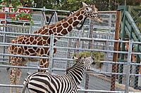 Giraffe_zebra02