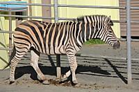 Zebra68