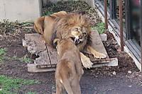 Lions38