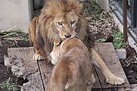 Lions39