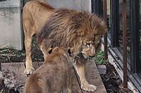 Lions40