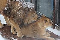 Lions41
