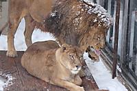 Lions42