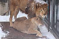 Lions43