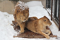 Lions44