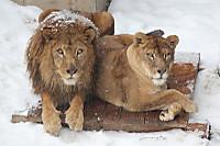 Lions45
