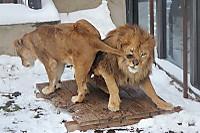 Lions46