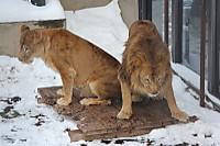 Lions47