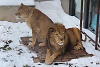 Lions48