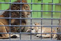 Lions_k11