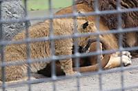 Lions_k12
