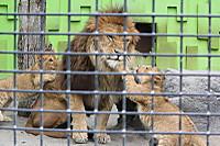 Lions_k13