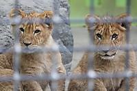Lions_k14