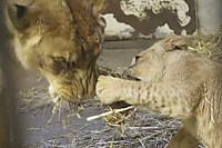 Lions_k15