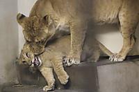 Lions_k16