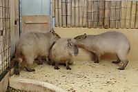 Capybara_o01