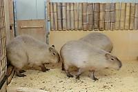 Capybara_o02