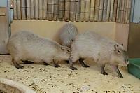 Capybara_o03