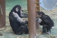 Chimpanzee28