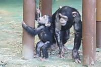 Chimpanzee29
