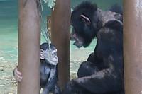 Chimpanzee30