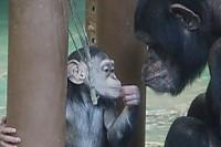Chimpanzee31