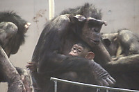 Chimpanzee32