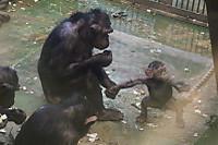 Chimpanzee33
