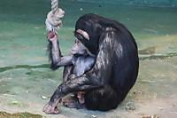 Chimpanzee34