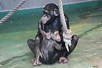 Chimpanzee35