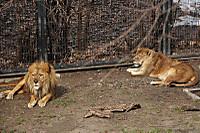 Lions49