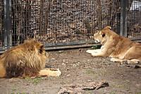 Lions50