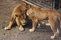 Lions51