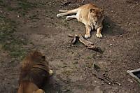 Lions52
