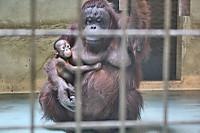 Orangutan44