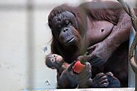 Orangutan45