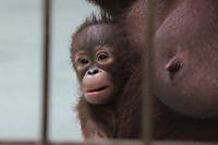 Orangutan46