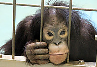 Orangutan47
